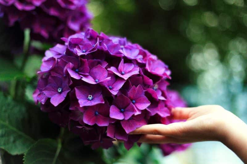 significado del color púrpura